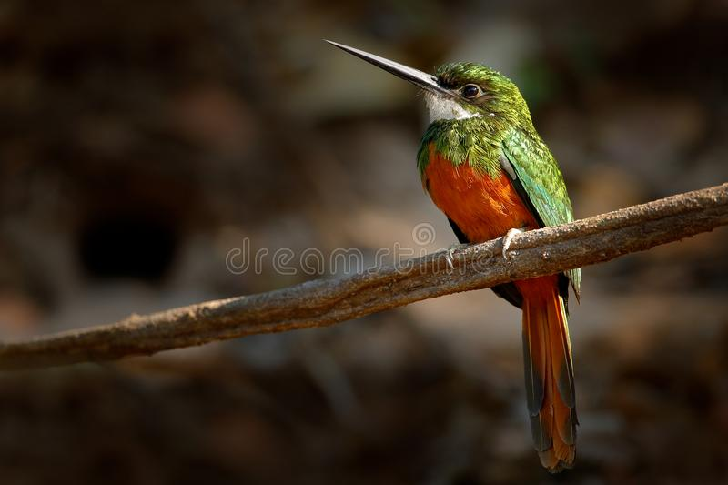 Rufous-tailed Jacamar, Galbula ruficauda, green and orange bird with long bill sitting on the tree branch, bird in the nature habi stock image