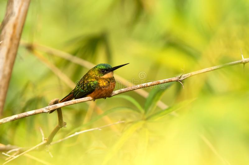 Rufous-tailed Jacamar sitting on bamboo branch caribbean forest. Trinidad and Tobago, colorful exotic bird. Bird waiting on branch and catching insects, exotic stock photo