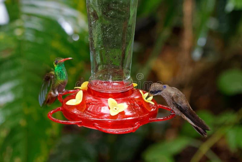 Rufous-tailed kolibri med brunt violetear arkivfoton