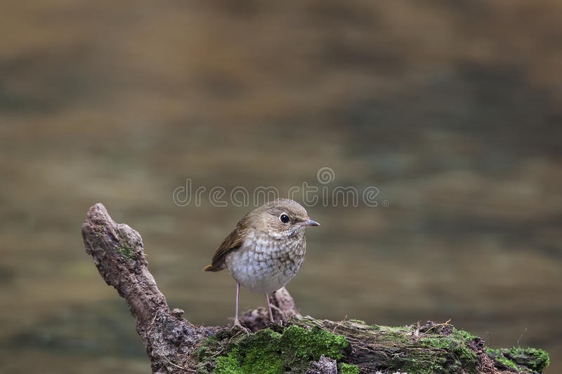 Rufous-tailed Robin royalty free stock photography
