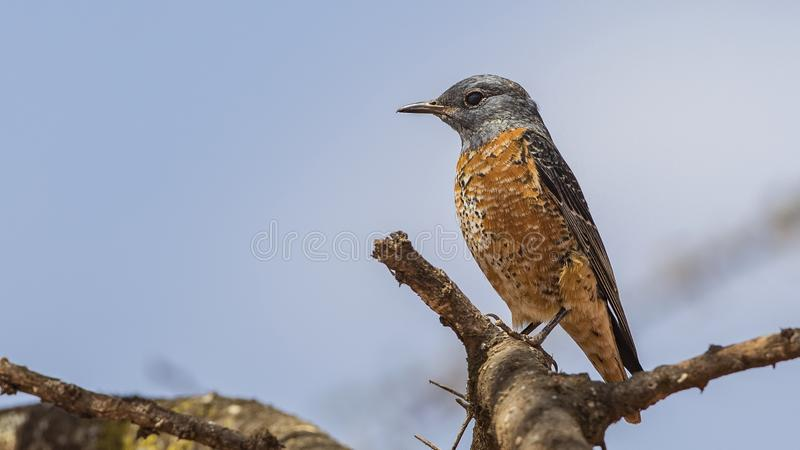 Rufous-tailed Rock-Thrush on Tree Branch royalty free stock images