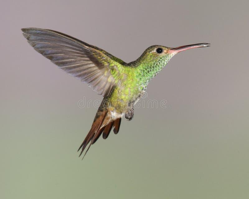 rufous tailed tzacatl för amaziliahummingbird arkivfoton
