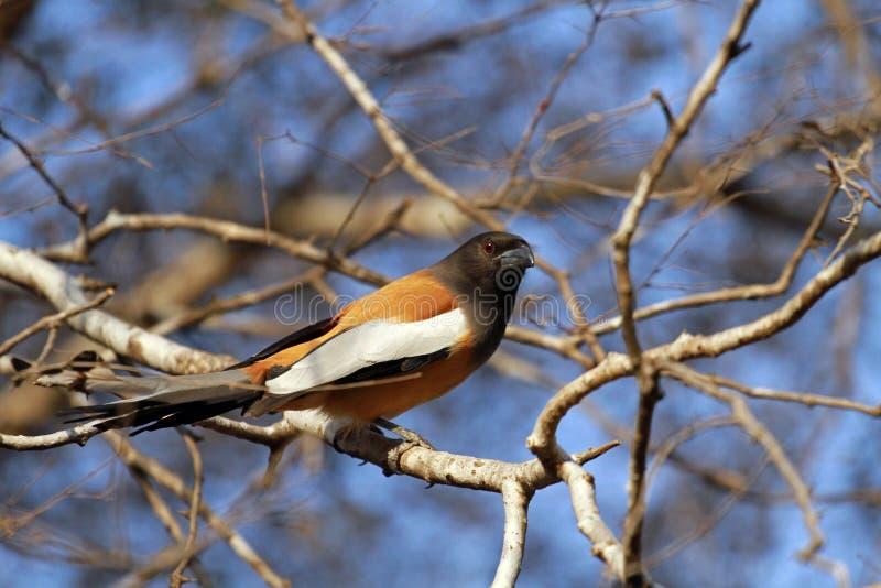 Download Rufous Treepie stockfoto. Bild von vögel, park, vogel - 96928548