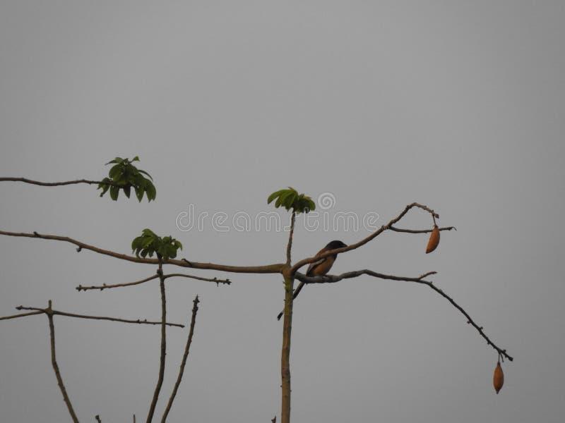 Rufous treepie bird on silk cotton tree in the cloudy evening. Rufous treepie or Dendrocitta vagabunda on silk cotton tree royalty free stock image