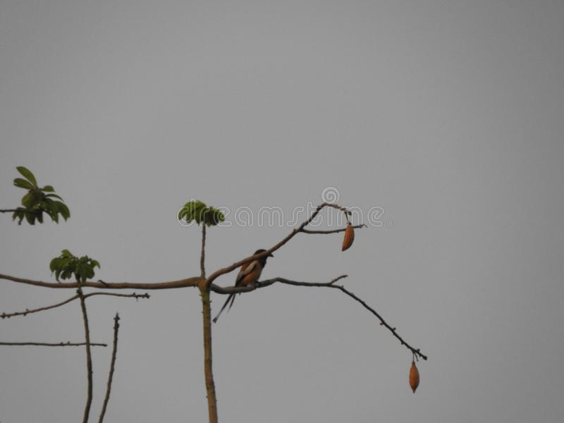 Rufous treepie bird on silk cotton tree in the cloudy evening. Rufous treepie or Dendrocitta vagabunda on silk cotton tree royalty free stock images