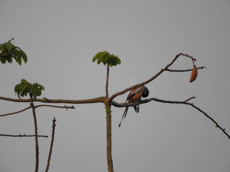 Rufous treepie bird on silk cotton tree in the cloudy evening. Rufous treepie or Dendrocitta vagabunda on silk cotton tree royalty free stock photo