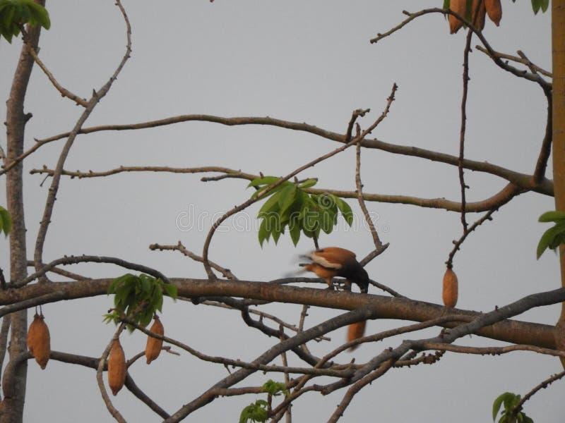 Rufous treepie bird on silk cotton tree in the cloudy evening. Rufous treepie or Dendrocitta vagabunda on silk cotton tree royalty free stock photos