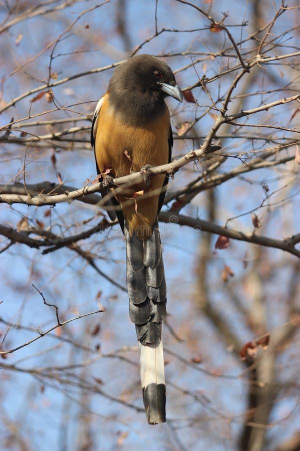 Rufous Treepie-vogel, Ranthambore, India royalty-vrije stock afbeeldingen