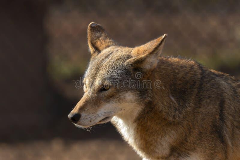 Rufus de lupus de Canis de loup rouge dans le ZOO images stock