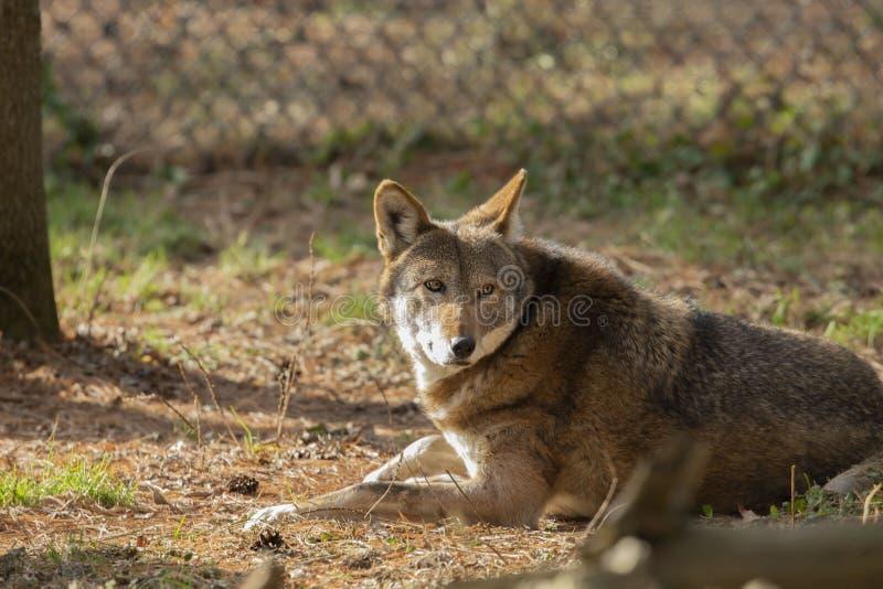 Rufus de lupus de Canis de loup rouge dans le ZOO images libres de droits