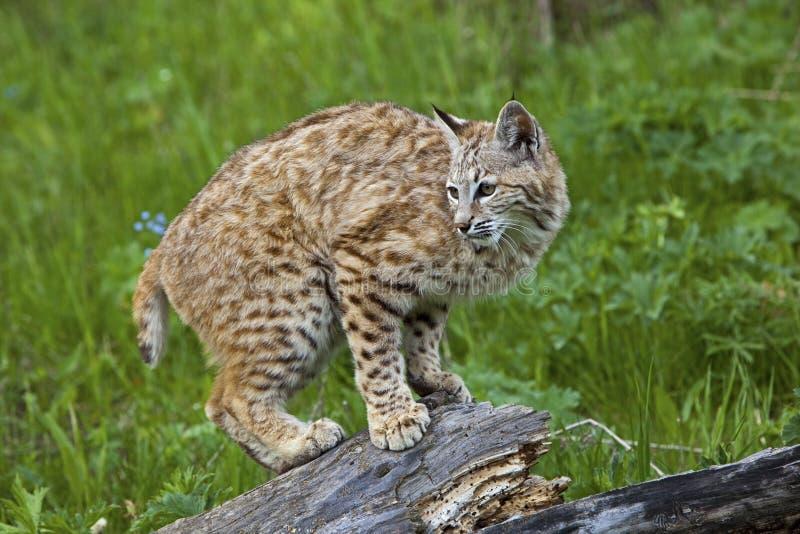 Rufus del lince del gatto selvatico fotografia stock