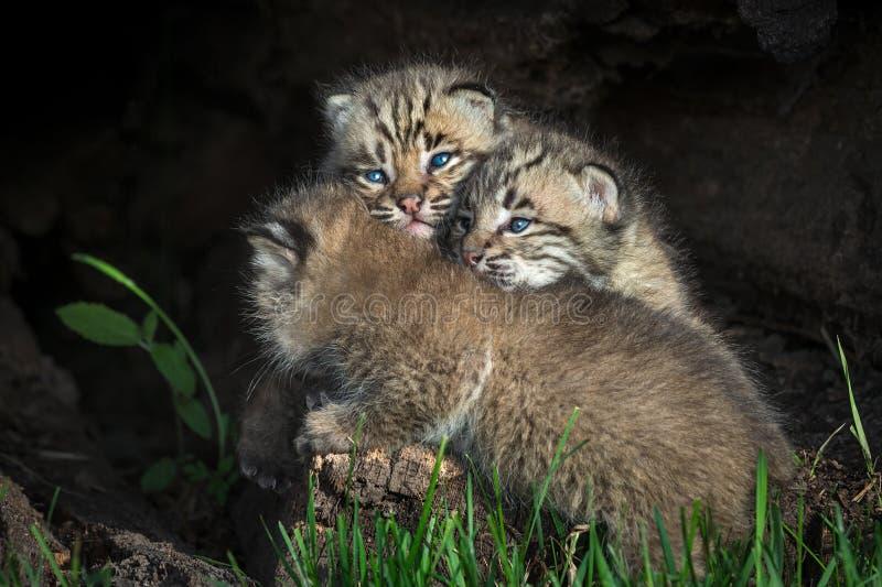 Rufus di Bobcat Kittens Lynx accatastato su in ceppo fotografie stock libere da diritti