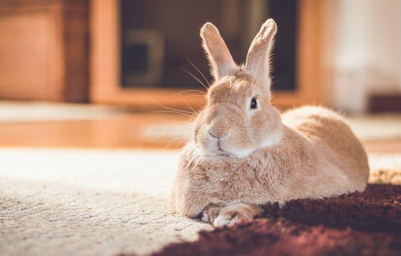 Rufus-Häschen entspannt sich nahe bei Noppenteppich in den warmen Tönen, Weinleseeinstellung stockfotografie