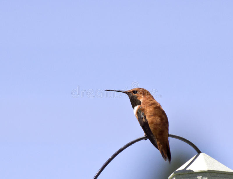 Rufus Hummingbird Sitting On Wire Masculino Imagem de Stock Royalty Free