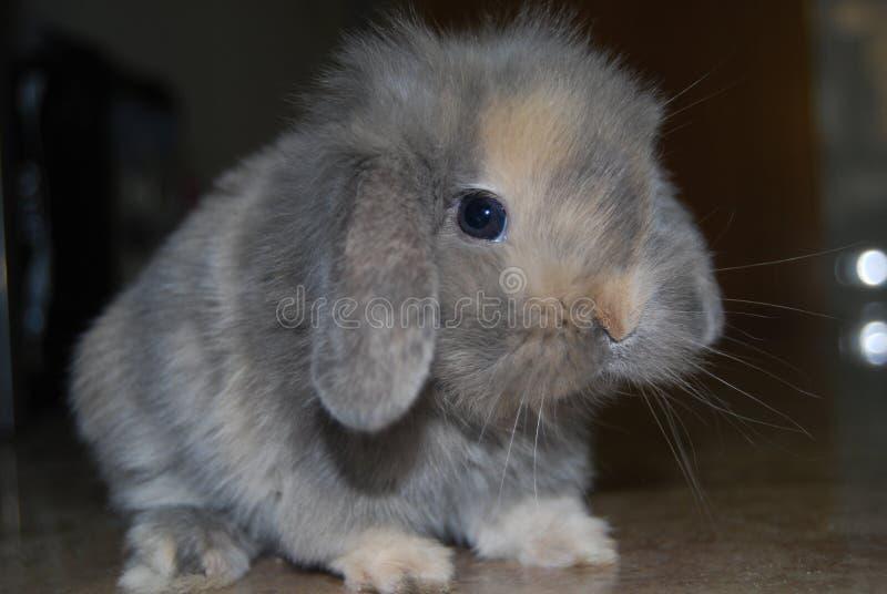 Rufus królik zdjęcia stock