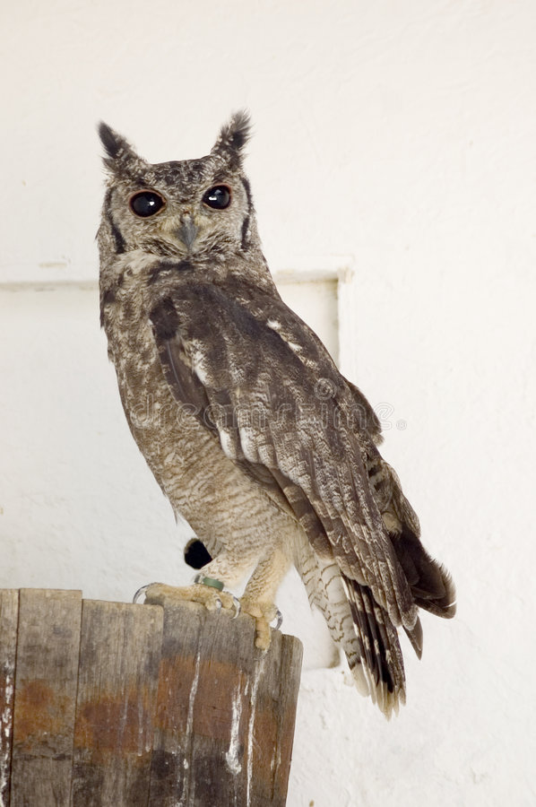 Rufus-Thighed Owl Stock Photography