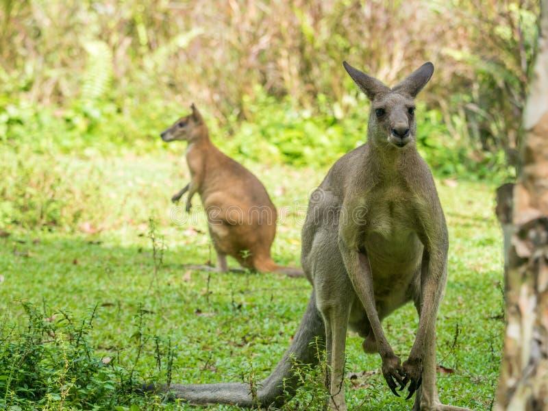 Rufus van twee Australische bruine kangoeroesmacropus stock foto