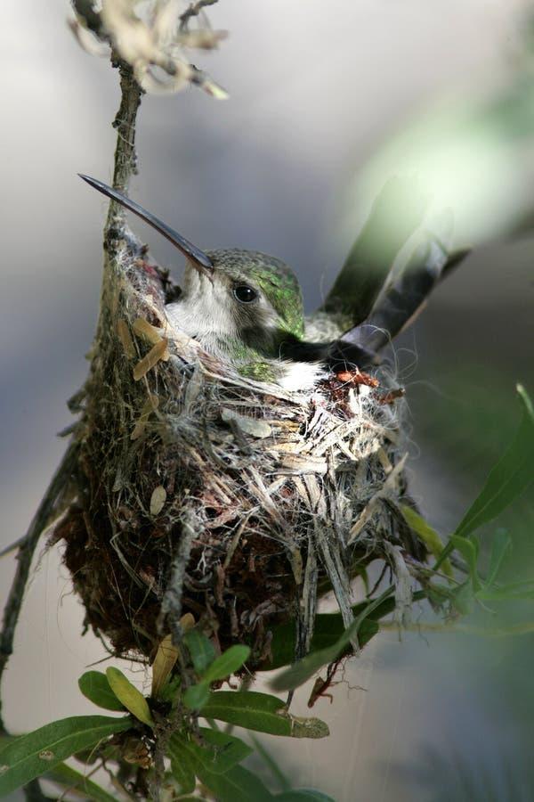 Rufuskolibrie in een nest met eieren wordt geplooid dat royalty-vrije stock fotografie