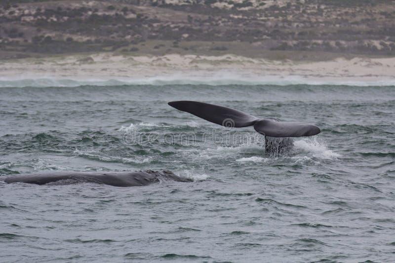 Rug en staart van Zuidelijke Juiste Walvissen die dichtbij Hermanus, Westelijke Kaap zwemmen Beroemde wijngaard Kanonkop dichtbij stock foto's