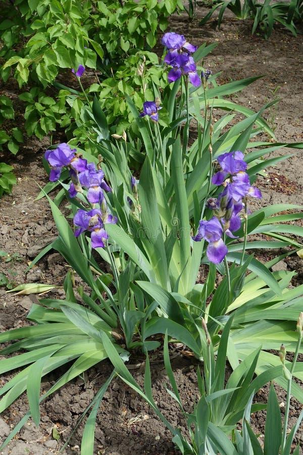 Ruggar av iriers med violetta blommor arkivbild