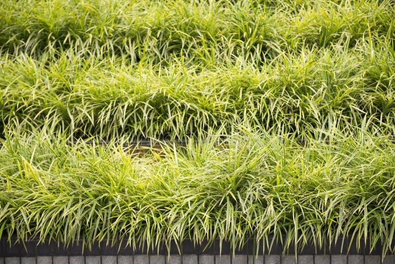 Rugge av gräs i trädgård arkivfoton