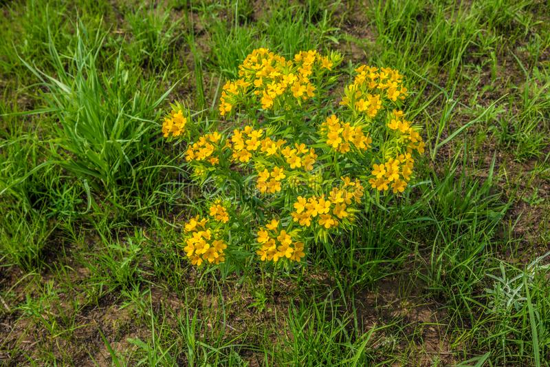 Rugge av gula vildblommor i prärien royaltyfri bild