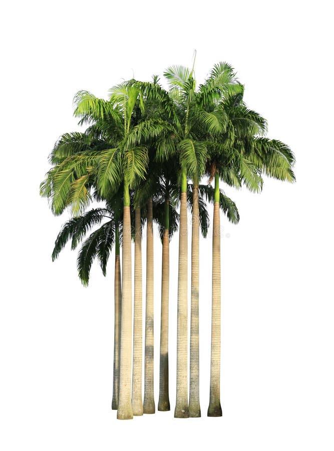 Rugge av palmträd royaltyfri fotografi