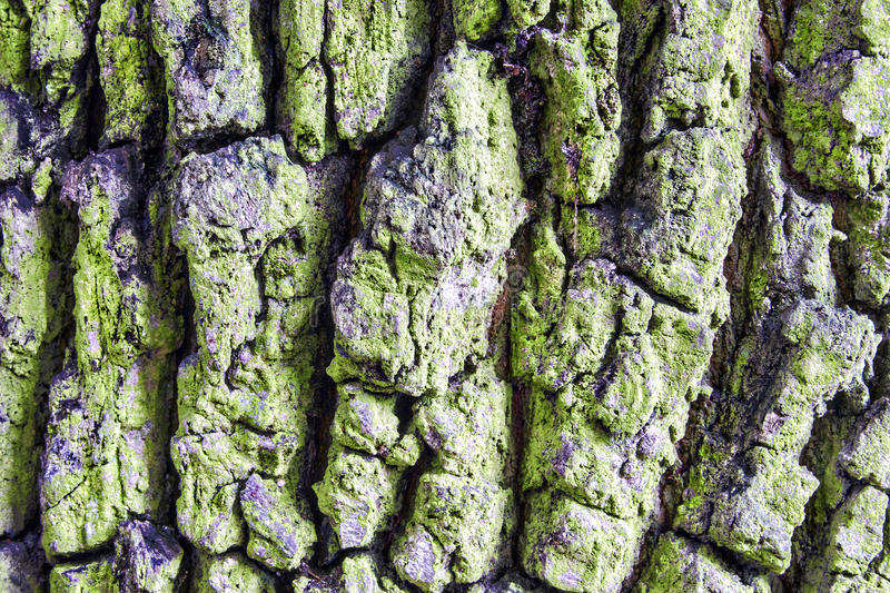 Rugged bark of a tree. Rugged bark of an old tree stock photos