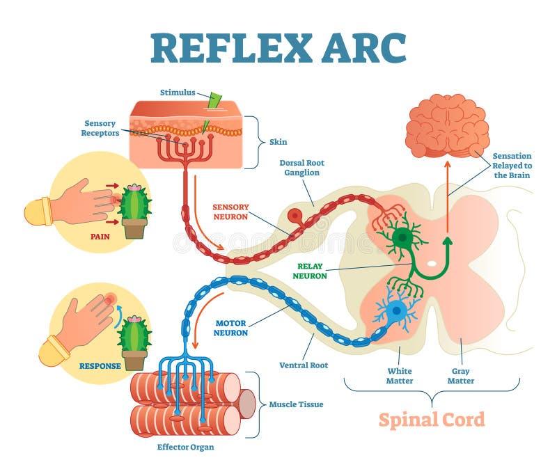 Ruggegraats Reflexboog anatomische regeling, vectorillustratie, met stimulus, sensorisch neuron, motorneuron en spierweefsel stock illustratie