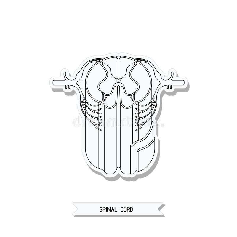 Ruggemergdwarsdoorsnede vector illustratie
