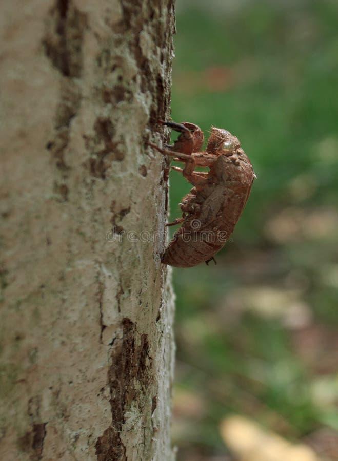 Ruggning av cikadan på trädskäll royaltyfria foton