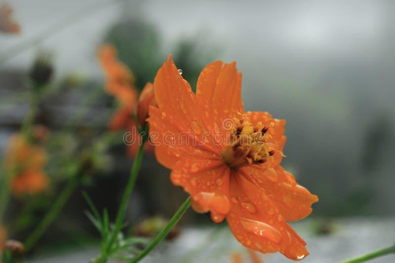 Rugiada di mattina sui bei fiori immagine stock libera da diritti