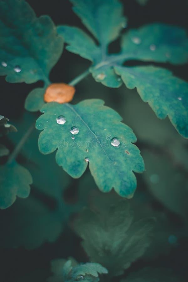 Rugiada piacevole sulle foglie verdi fotografia stock