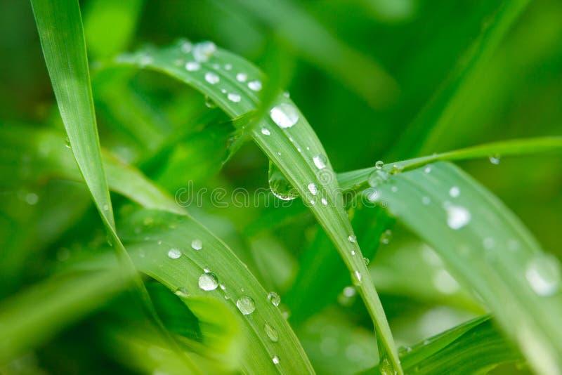 Rugiada su un'erba in primavera fotografie stock libere da diritti