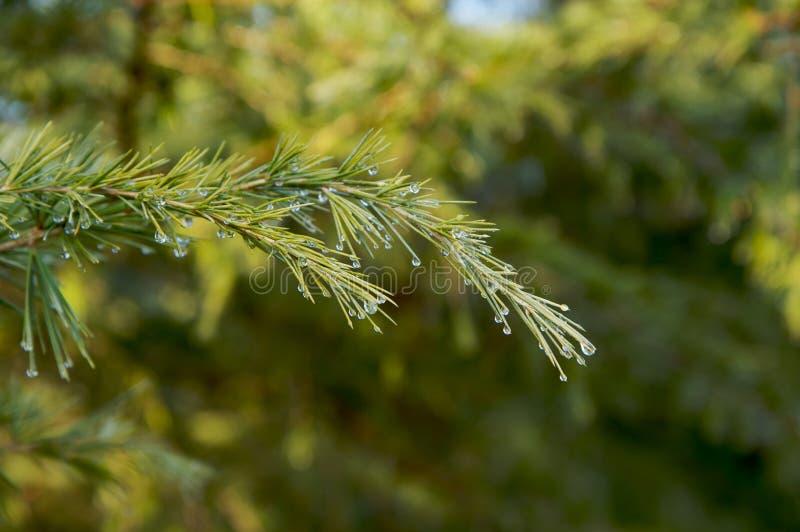 Rugiada verde della filiale del pino immagini stock libere da diritti