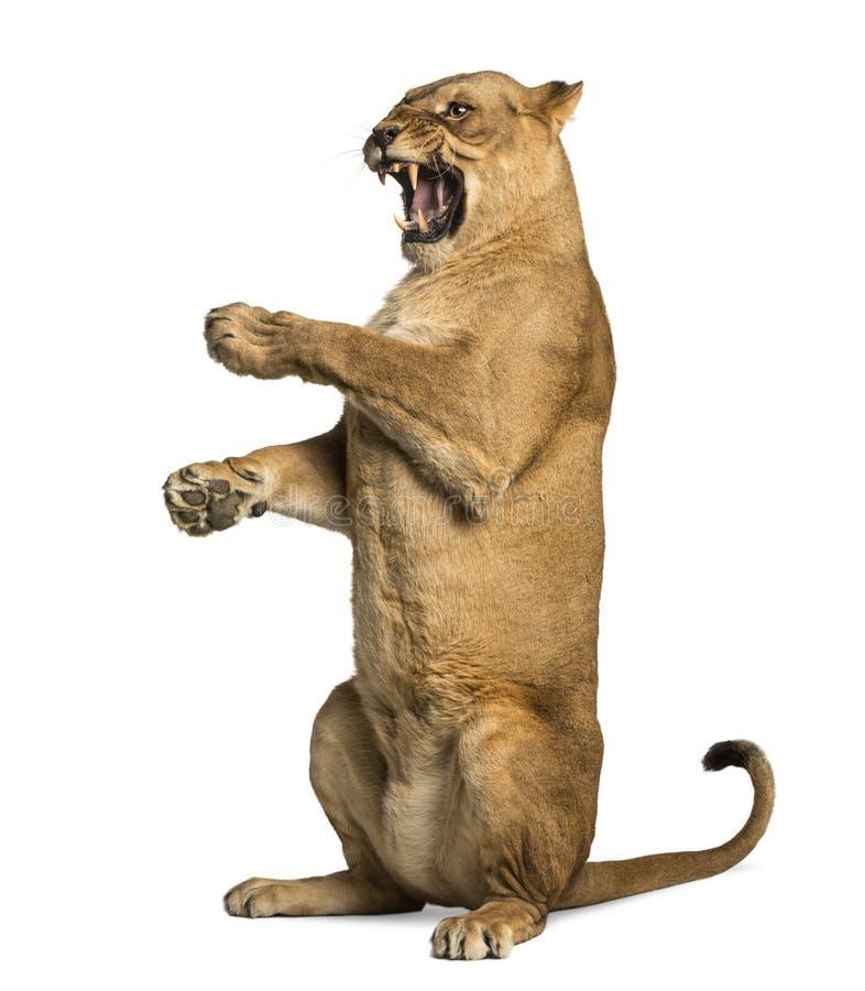 Rugido de la leona, sentándose en las piernas traseras, Panthera leo fotografía de archivo