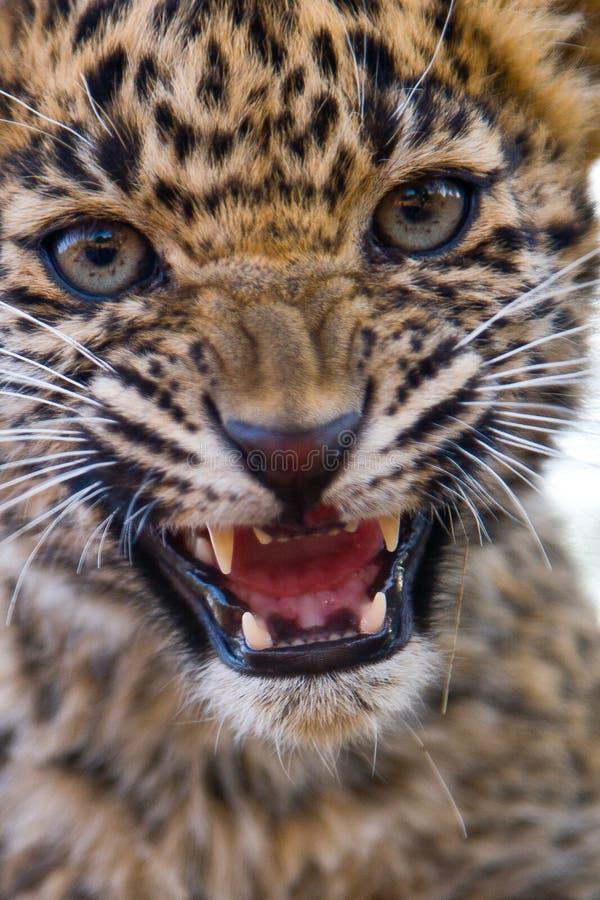 Rugido del cachorro del leopardo fotografía de archivo