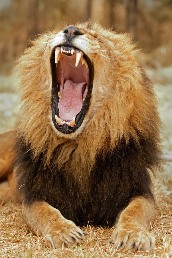 Rugido do leão imagens de stock