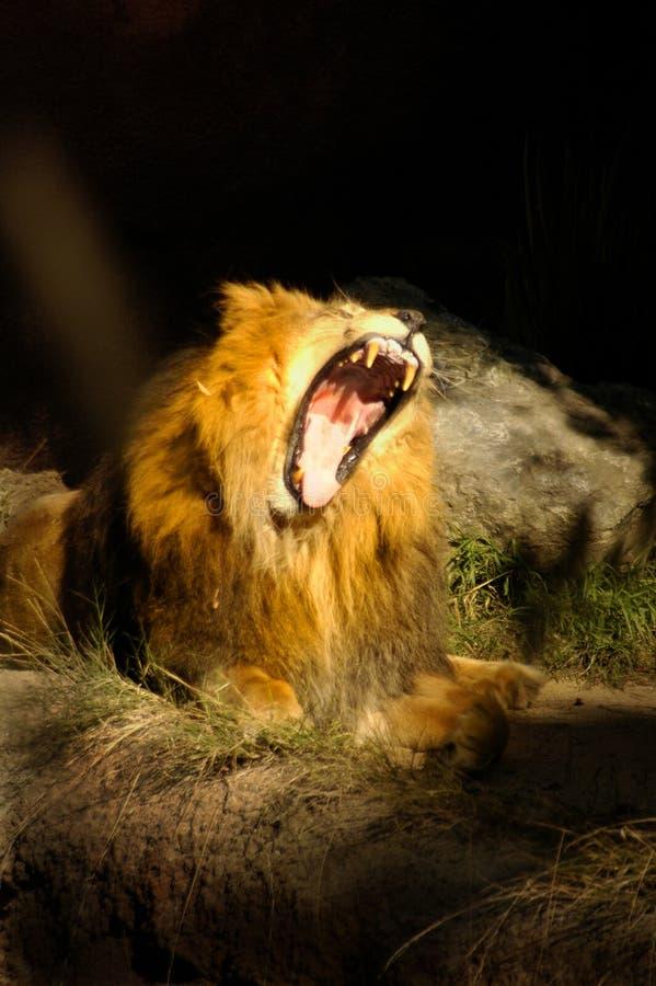 Rugido enorme del león del CAT 0048 foto de archivo libre de regalías