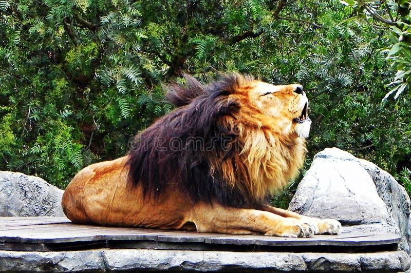 Rugidos masculinos de um leão fotos de stock