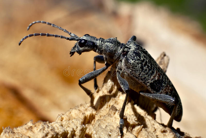 rugipenne del inquiridor de Rhagium del escarabajo del ?apricorn foto de archivo