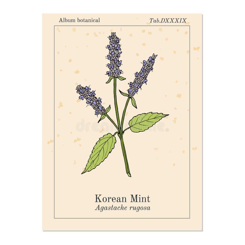 Rugosa coreano del Agastache de la menta, planta medicinal libre illustration
