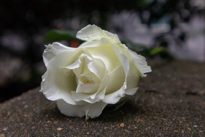 Rugosa di Rosa alba fotografie stock libere da diritti