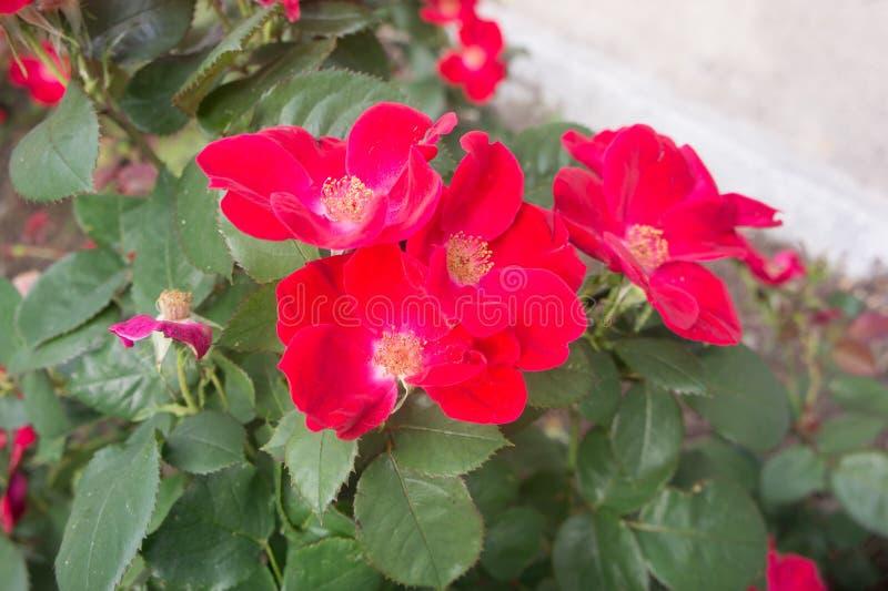 Rugosa di rosa delle rose del Mar Rosso fotografie stock libere da diritti