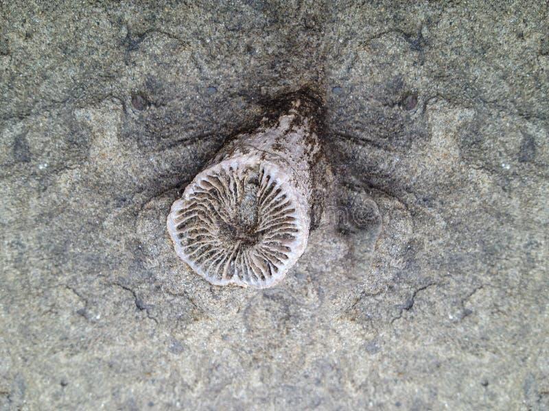 Rugosa o fossile del corallo del corno fotografia stock
