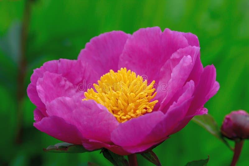 rugosa rosa стоковые изображения rf