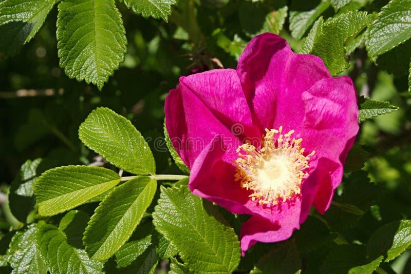 rugosa rosa стоковая фотография rf
