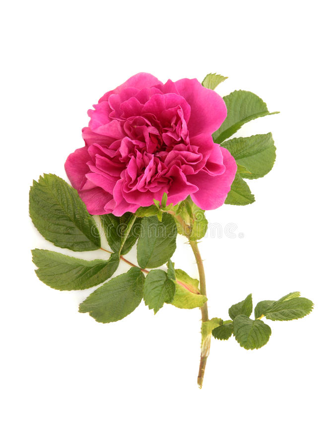 Rugosa Rose images stock