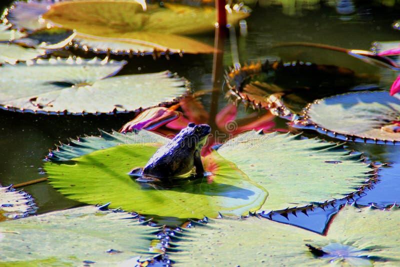 Rugose Frosch stockfoto