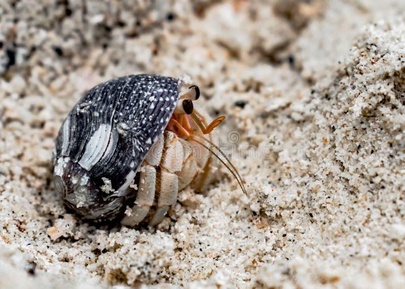 Rugosus Coenobita, ένας καρκινοειδής γνωστός ως καβούρι ερημιτών, που τιτιβίζει από το κοχύλι, για να παρατηρήσει τα περίχωρα μέσ στοκ φωτογραφίες με δικαίωμα ελεύθερης χρήσης
